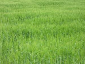 Dagsmark, wheat field