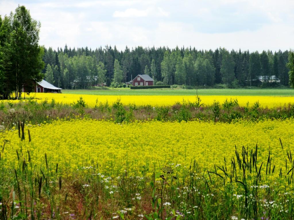 Dagsmark, rapeseed fields